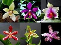 Colección de Phalaenopsis de la orquídea foto de archivo libre de regalías