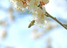 Colección de polen floral Fotografía de archivo