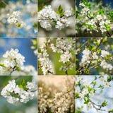 Colección de primers florecientes del árbol de ciruelo de la primavera hermosa Imagen de archivo libre de regalías