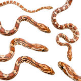 Colección de serpiente de maíz seises imagenes de archivo