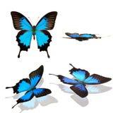 Colección de Ulises del papilio de la mariposa Fotos de archivo libres de regalías