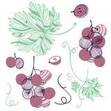 Colección de uva violeta Fruta, hoja y pedazo de bayas de la uva Ejemplo exhausto de la mano del vector en el estilo plano de mod stock de ilustración