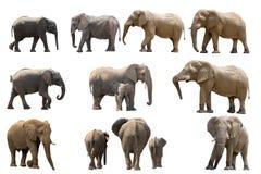Colección de varios elefantes aislados en el fondo blanco Imágenes de archivo libres de regalías