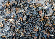 Colección del diente del tiburón imagen de archivo libre de regalías