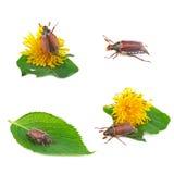 Colección del insecto de mayo Fotos de archivo libres de regalías