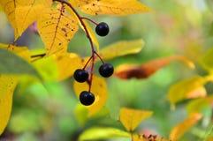 Colección del otoño Un manojo de cereza negra Bayas maduras Imágenes de archivo libres de regalías
