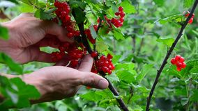Colección del Redcurrant recoge bayas maduras de la pasa roja almacen de metraje de vídeo