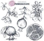 Colección del vector de frutas de la granada, flores, ramas foto de archivo libre de regalías