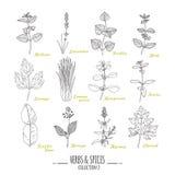 Colección dibujada mano de las hierbas y de las especias Condimentos del estilo del esquema ilustración del vector