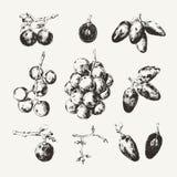 Colección dibujada tinta de uvas Fotos de archivo