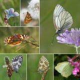 Colección europea de la especie de la mariposa Imagenes de archivo