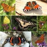 Colección europea de la especie de la mariposa imagen de archivo libre de regalías