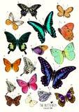 Colección grande de mariposas Foto de archivo libre de regalías