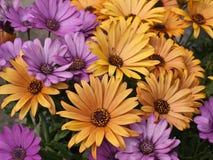 Colección hermosa de flores de la margarita Fotos de archivo libres de regalías