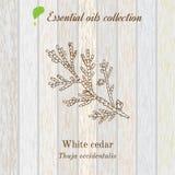 Colección pura del aceite esencial, cedro blanco Fondo de madera de la textura ilustración del vector
