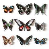 Colección rellena de la mariposa de los insectos Fotografía de archivo
