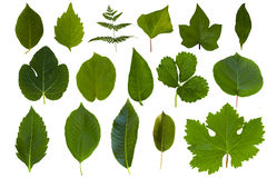Colección verde aislada de la hoja Foto de archivo