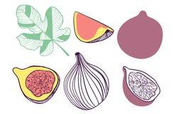 Colecci?n de higos Fruta, hoja y pedazo de higo Ejemplo exhausto de la mano del vector en el estilo plano de moda moderno para la libre illustration