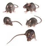 Colección de la rata Foto de archivo