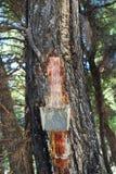 Colección de la resina del pino, Alonissos Foto de archivo libre de regalías