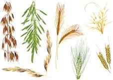 Colección de los cereales del color aislada en blanco Imagen de archivo libre de regalías