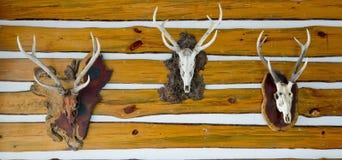 Colección principal del trofeo de los ciervos en una pared de madera Imagen de archivo libre de regalías