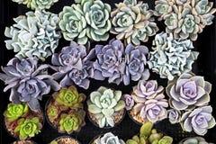 Colecciones suculentas hermosas de Echeveria del primer, decoratio de la planta interior foto de archivo libre de regalías