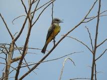 Colector amarillo Costa Rica de la mosca Imagen de archivo libre de regalías