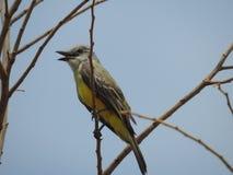 Colector amarillo Costa Rica de la mosca Imagen de archivo
