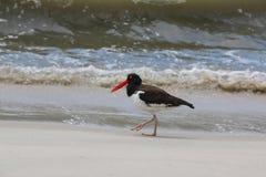 Colector de ostra en la playa Imagen de archivo libre de regalías
