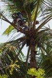 Colector del jugo de la palma en el árbol Fotos de archivo libres de regalías