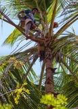 Colector del jugo de la palma en el árbol Imagen de archivo