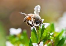 Colector del polen Fotografía de archivo libre de regalías