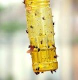 Colector pegajoso de la mosca y del insecto Imagen de archivo libre de regalías