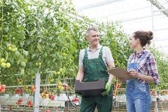 Colegas de trabalho de sorriso que discutem ao andar por plantas de tomate na estufa fotos de stock royalty free