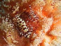 coleman γαρίδες Στοκ Εικόνες