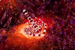 Coleman-Garnele, FeuerSeeigel in Ambon, Maluku, Indonesien-Unterwasserfoto Lizenzfreies Stockfoto