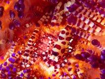 Coleman-Garnele, Periclimenes-colemani, auf Feuerbengel, Astropyga-radiata stockfoto