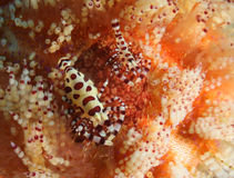 Coleman Shrimp. Small shrimp sitting on Fire Sea Urchin stock photo