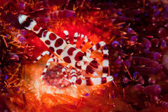 Coleman shrimp, fire sea urchin in Ambon, Maluku, Indonesia underwater photo Royalty Free Stock Image