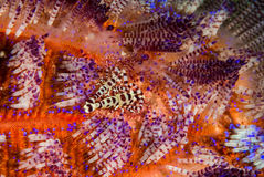 Coleman shrimp, fire sea urchin in Ambon, Maluku, Indonesia underwater photo Royalty Free Stock Photo