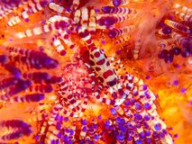 Coleman shrimp, Periclimenes colemani, on fire urchin, Astropyga radiata royalty free stock image