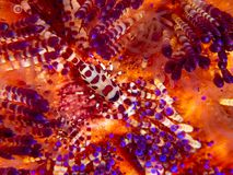 Coleman shrimp, Periclimenes colemani, on fire urchin, Astropyga radiata stock photography