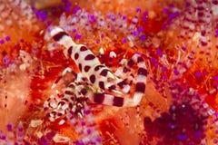 Coleman shrimp - Periclimenes colmani stock images