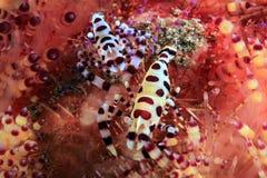 Coleman Shrimps Stock Photography