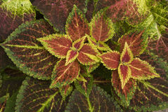 Coleo Coleus Royalty Free Stock Photography