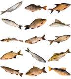 Coleção de peixes de água fresca Fotografia de Stock