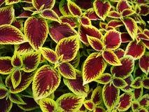 Coleo planta ornamental brillante e inusual de Kong fotos de archivo libres de regalías