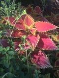Coleo rojo con las hojas del rojo y del amarillo Fotografía de archivo libre de regalías