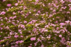 Coleonema pulchellum pink flowers Stock Images